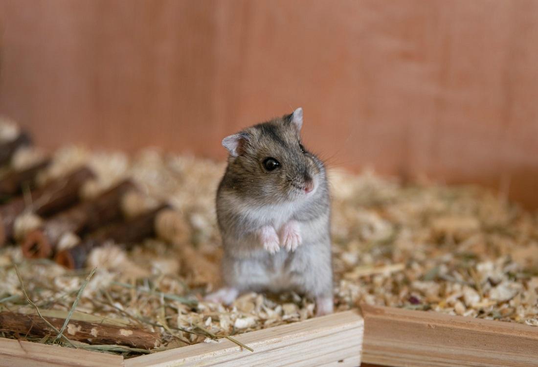 Hamsters geven inzicht in langdurige coronaklachten