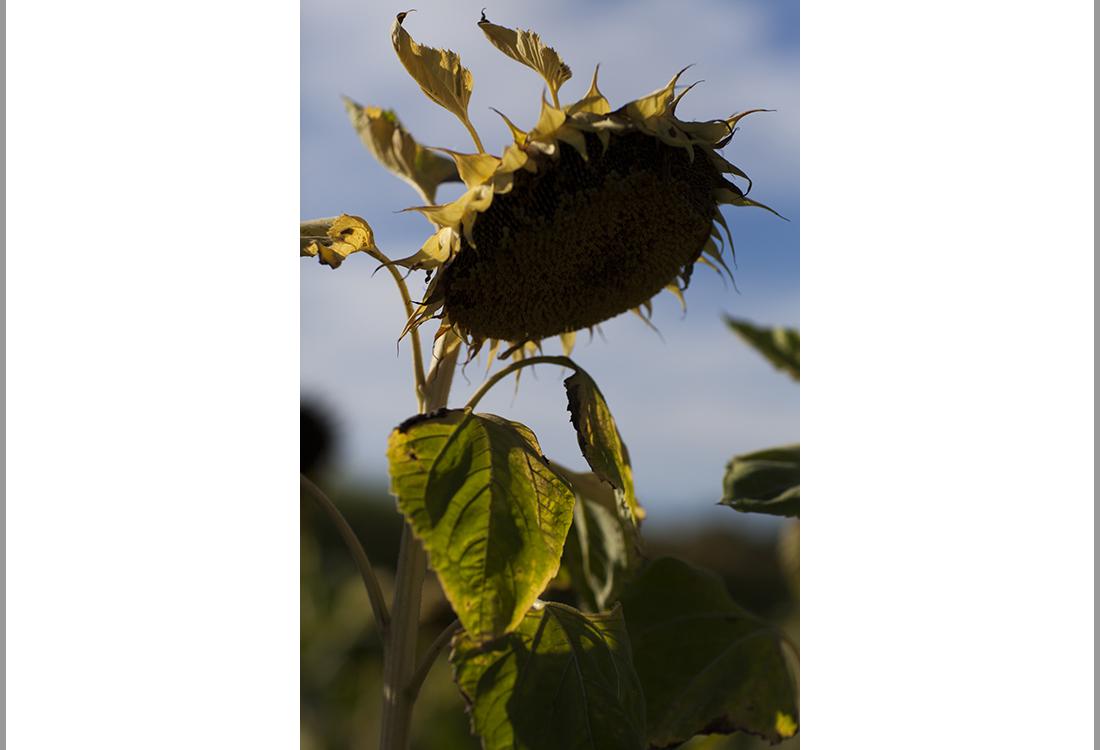 Liefdevol rouwen, deel 5: Portret van een zonnebloem
